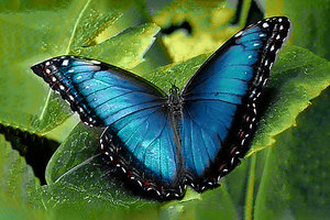 Wizardi Diamond Painting Kit Blue Morpho WD055