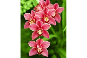 Wizardi Diamond Painting Kit Cimbidium WD033