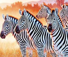 Diamond-Painting zebra's 40x50 cm