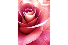 Wizardi Diamond Painting Kit Pink Rose WD019